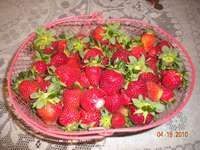 Strawberries_from_the_russian_farmer