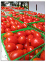 Tomatoes_from_no._pulaski_farms