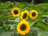 More_sunflowers_from_the_russian_farmer
